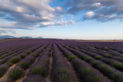 France Lavender Stock Image
