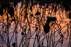 France, Mougin, A lot of dried lotus flowers in the pond at suns. Et in Provence, a reflection of the sunset sky, reeds, dry grass Royalty Free Stock Photo