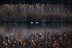 France, Mougin, provence, Duck swimming in a pond at sunset, amo. Ng dried reeds and lotuses, a reflection of the sunset sky, reeds, dry grass Stock Photography