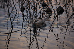 France, Mougin, provence, Duck swimming in a pond. At sunset, among dried reeds and lotuses, a reflection of the sunset sky, reeds, dry grass Stock Image