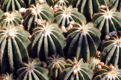 France, Nice, parc Phenix: eriocactus magnificus Stock Photo