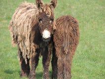 France, Poitou Donkey Stock Photos