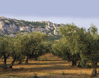 France provence bouches du rhone provence the alpi. Lles groves of olive trees Stock Images