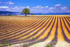 France. Provence  - lavander fields Stock Photos