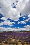 France - Provence - Sault. Lavender field Stock Photos