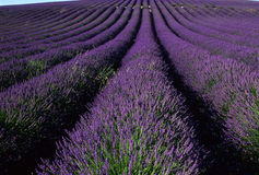 France - Provence - Sault. Lavender field Royalty Free Stock Photography