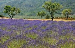 france śródpolna lawenda Provence zdjęcia stock