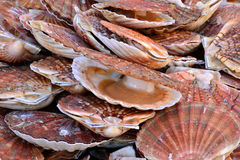 France, scallops at the market of Le Touquet Paris Plage Stock Photo