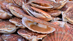 France, scallops at the market of Le Touquet Paris Plage Royalty Free Stock Images
