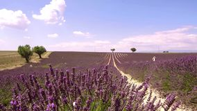 Provence, France, Fields of blooming lavender flowers - slow motion clip. France, season of Fields of blooming lavender flowers in Valensole in French Provence stock video footage
