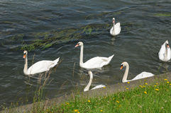 France, swans in Seine river in Les Mureaux Stock Image