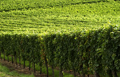 France, vineyard in Burgundy Royalty Free Stock Photography