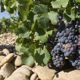 france winogron winnica Obrazy Stock