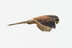 Francelho comum Falco em voo fotografia de stock royalty free