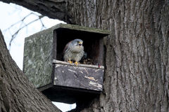 Francelho, tinnunculus de Falco Fotografia de Stock Royalty Free