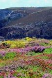 Frances, ajonc coloré de la Bretagne fleurissant sur une colline de bord de la mer Images stock