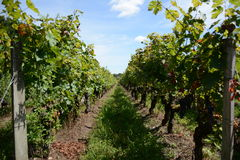 Frances de vignes Image libre de droits