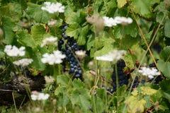 Frances de vignes Photographie stock