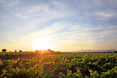 Frances - les Vignes de Sainte Cécile Images libres de droits