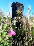 Francese Bulldogg con il fiore Immagini Stock Libere da Diritti