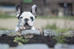 Franch牛头犬 免版税图库摄影