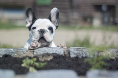 Franch bulldog Royalty Free Stock Photography
