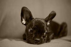 Franch bulldogg Arkivbilder