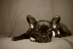 Franch-Bulldogge Lizenzfreie Stockbilder