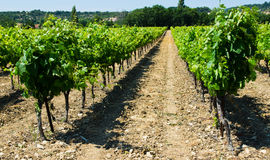 Franch vineyard Royalty Free Stock Image