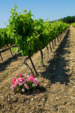 Franch vineyard Stock Image