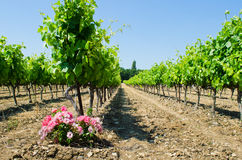 Franch vineyard Stock Photography