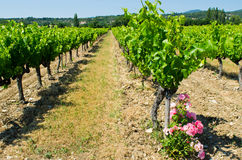 Franch vineyard Royalty Free Stock Photos