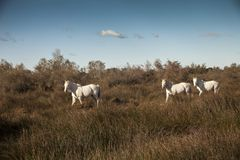 Francia, Camargue, Saintes- Maries- de- la- Mer, the horses. Francia, Camargue, Saintes- Maries- de- la- Mer, the horse in the country Stock Photography