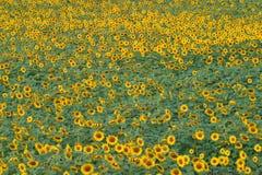 Francia, Midi los Pirineos, Gers, campo del girasol cerca de Monfort Fotos de archivo libres de regalías