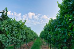 Franciacorta vineyard Stock Photography