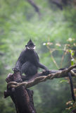 Francois langur. A francois langur resting on the tree Royalty Free Stock Image