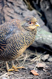 Francolin Royalty Free Stock Image