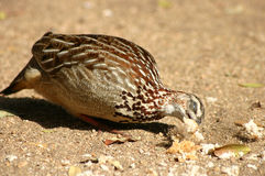 Francolin Image stock