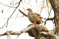 Francolin Bird Stock Image