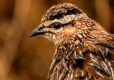 Francolin crêté photo stock