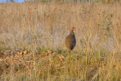 FRANCOLIN IM GRAS Stockfotos