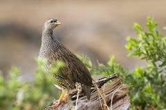 Francolin natal en el parque nacional de Kruger Imagen de archivo