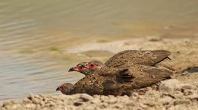 Francolin, Swainson's - Triplet Royalty Free Stock Photography