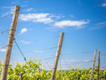 At the Franconian vineyard Stock Images