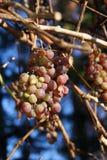 franconian winogron na wino obraz stock