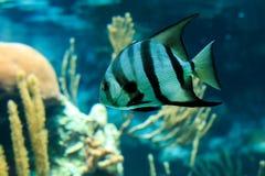 Francuski Angelfish zbliżenie Zdjęcie Stock