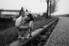Francuski buldog Fotografia Royalty Free
