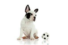 Francuski buldog na białej tło piłce i psie Obrazy Royalty Free