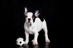 Francuski buldog na białej tło psa futbolu piłce nożnej Zdjęcie Stock
