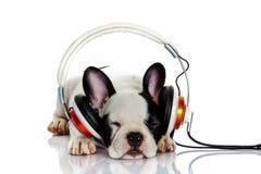 Francuski buldog słucha muzyka z hełmofonem odizolowywającym na białym tło psie zdjęcia royalty free